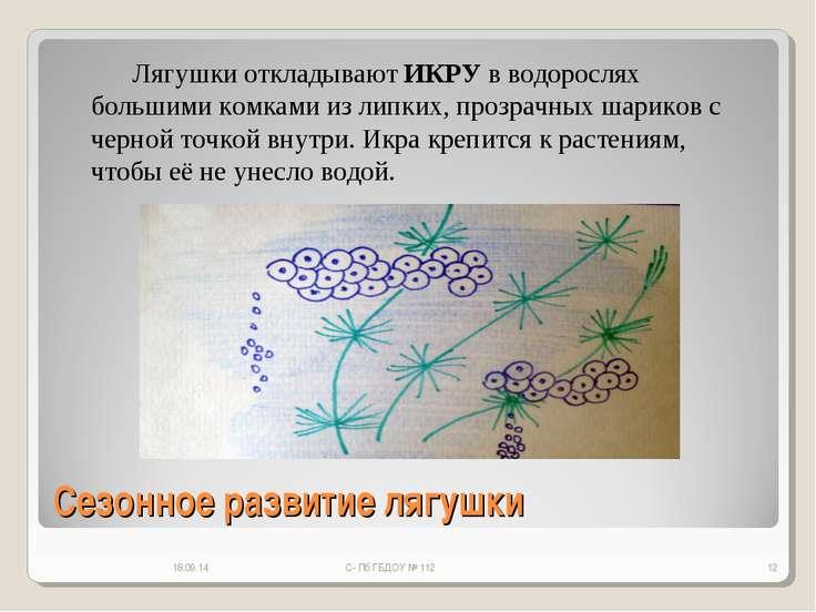 Сезонное развитие лягушки * С- Пб ГБДОУ № 112 * Лягушки откладывают ИКРУ в во...