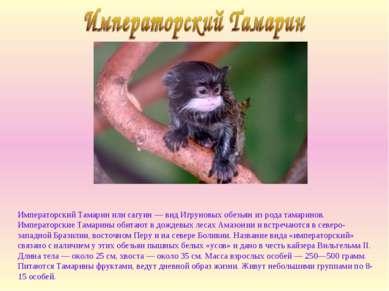 Императорский Тамарин или сагуин — вид Игруновых обезьян из рода тамаринов. И...