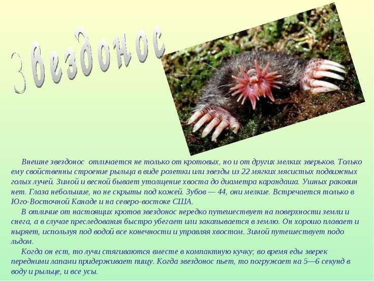 Внешне звездонос отличается не только от кротовых, но и от других мелких звер...