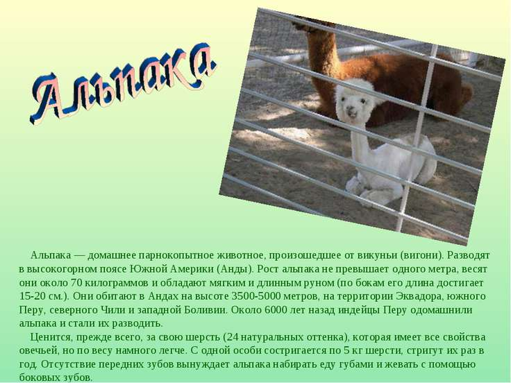 Альпака — домашнее парнокопытное животное, произошедшее от викуньи (вигони). ...