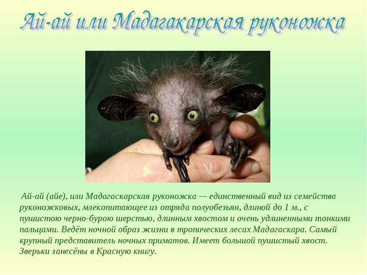 Ай-ай (айе), или Мадагаскарская руконожка — единственный вид из семейства рук...