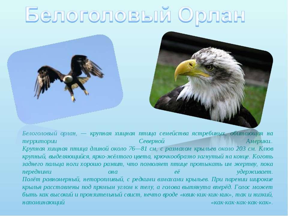Белоголовый орлан, — крупная хищная птица семейства ястребиных, обитающая на ...