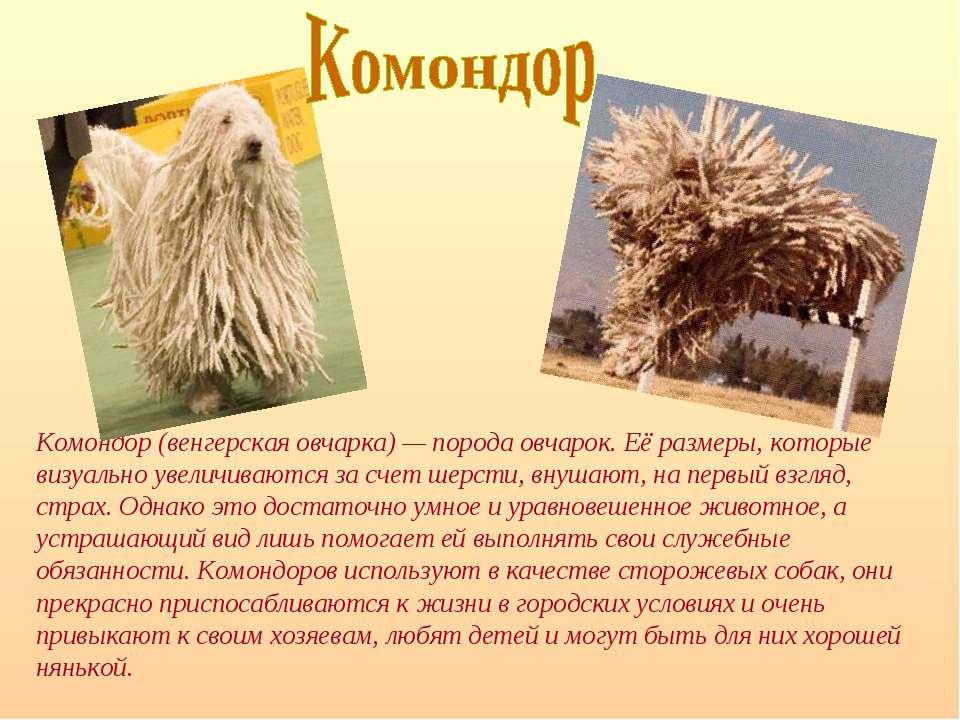 Комондор (венгерская овчарка) — порода овчарок. Её размеры, которые визуально...