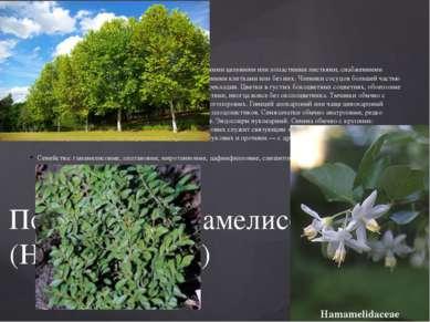 Деревья и кустарники с очередными или реже супротивными цельными или лопастн...