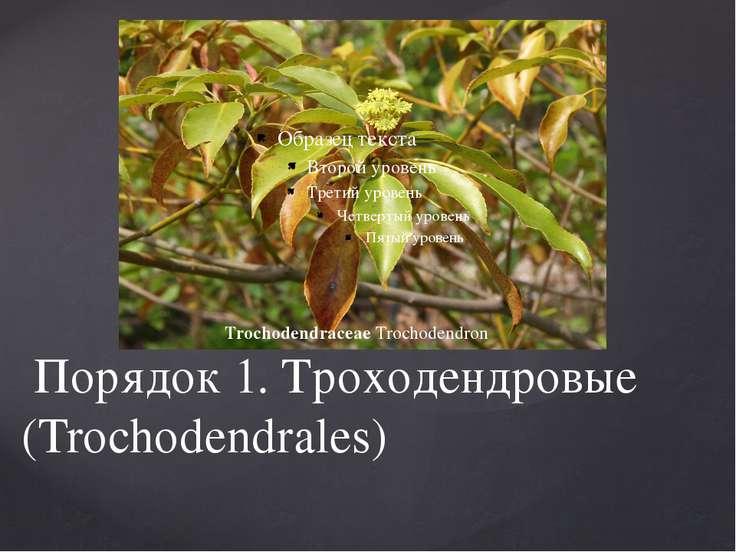 Порядок 1. Троходендровые (Trochodendrales) TrochodendraceaeTrochodendron
