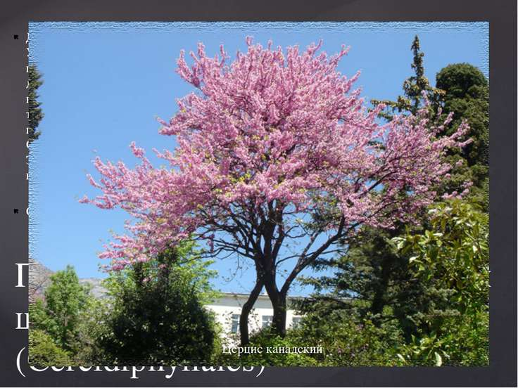 Деревья с цельными городчато-пильчатыми листьями, снабженными прилистниками. ...