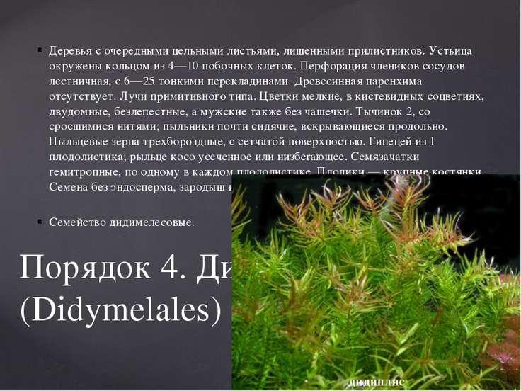 Деревья с очередными цельными листьями, лишенными прилистников. Устьица окруж...