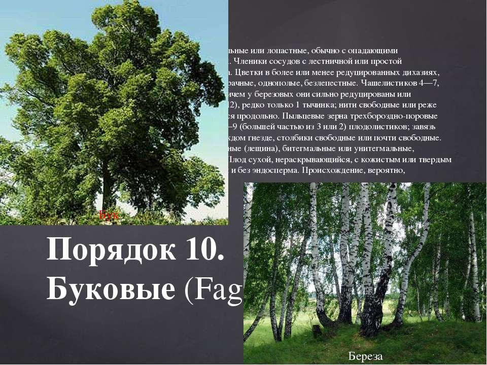 Деревья и кустарники. Листья очередные, цельные или лопастные, обычно с опад...