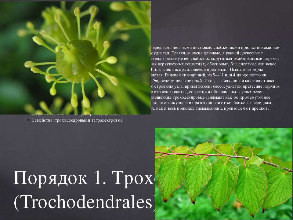 Порядок 1. Троходендровые(Trochodendrales). Деревья с очередными цельными ли...
