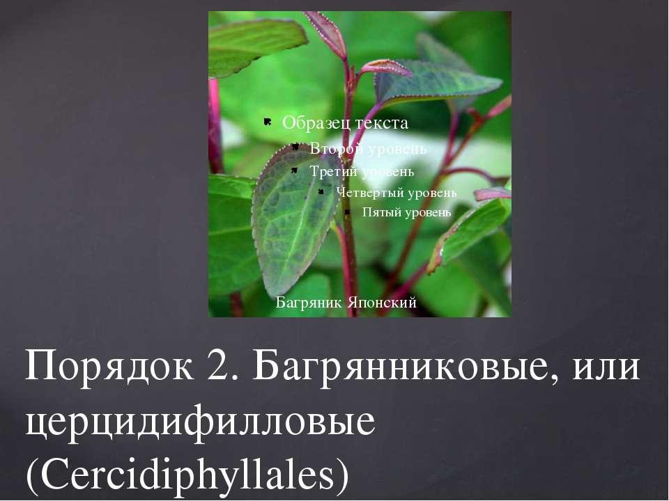 Порядок 2. Багрянниковые, или церцидифилловые (Cercidiphyllales) Багряник Япо...