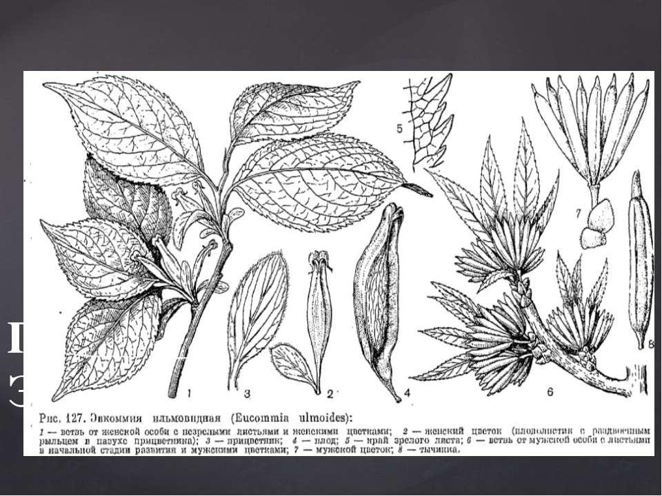 Деревья с симподиальными стеблями и очередными простыми листьями, лишенными п...