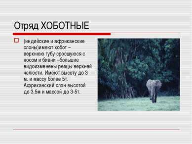 Отряд ХОБОТНЫЕ (индийские и африканские слоны)имеют хобот – верхнюю губу срос...
