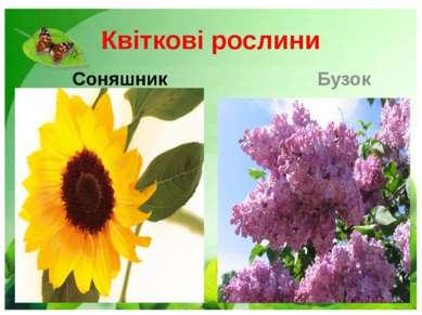 Квіткові рослини Соняшник Бузок