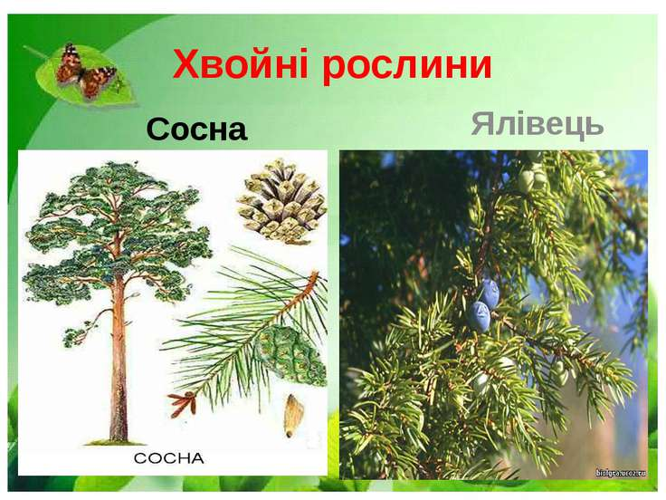 Хвойні рослини Сосна Ялівець