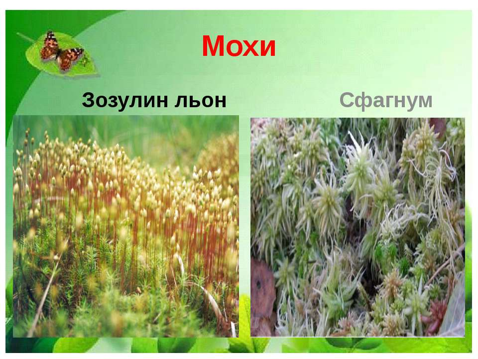 Мохи Зозулин льон Сфагнум