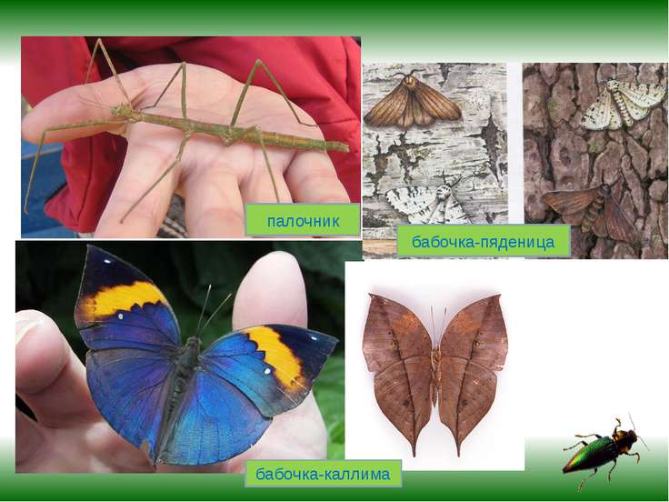 палочник бабочка-каллима бабочка-пяденица