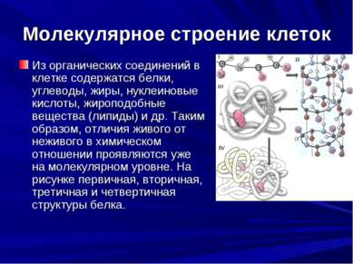 Молекулярное строение клеток Из органических соединений в клетке содержатся б...