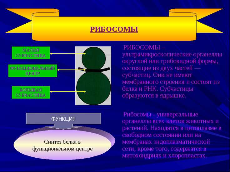 РИБОСОМЫ – ультрамикроскопические органеллы округлой или грибовидной формы, с...