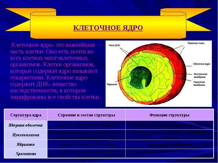 Клеточное ядро- это важнейшая часть клетки. Оно есть почти во всех клетках мн...