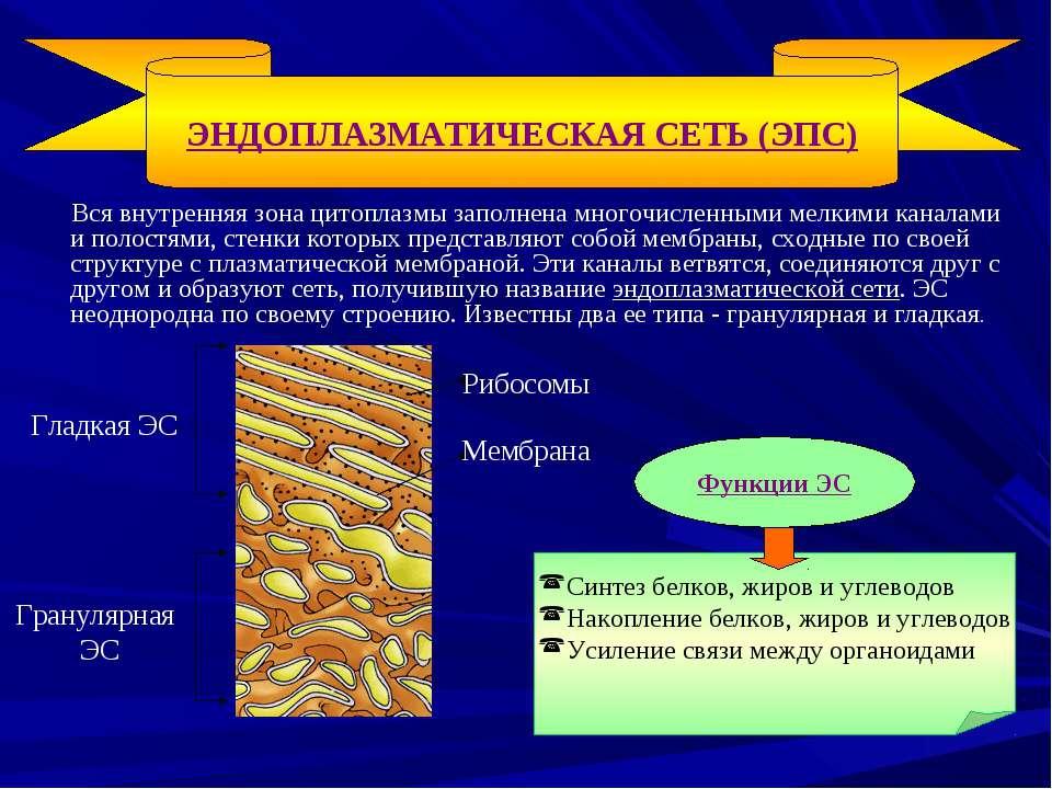 Вся внутренняя зона цитоплазмы заполнена многочисленными мелкими каналами и п...