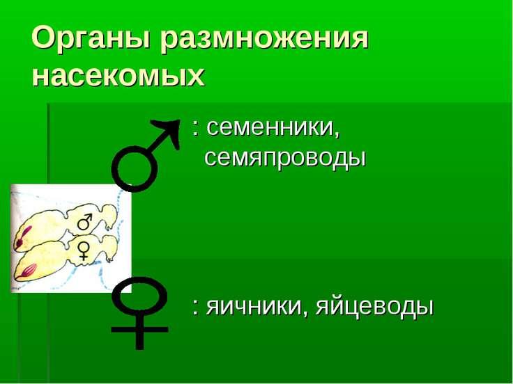 Органы размножения насекомых : семенники, семяпроводы : яичники, яйцеводы