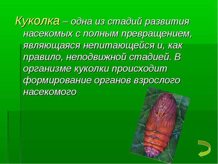 Куколка – одна из стадий развития насекомых с полным превращением, являющаяся...