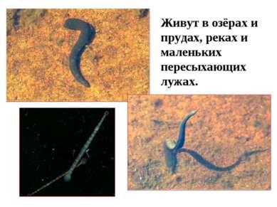 Живут в озёрах и прудах, реках и маленьких пересыхающих лужах.