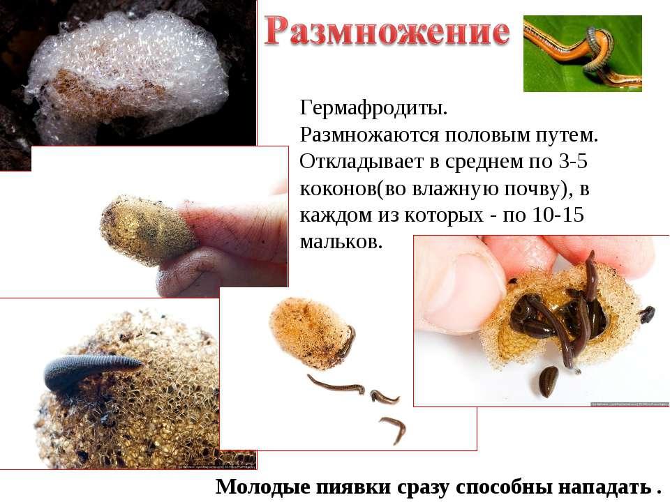 Гермафродиты. Размножаются половым путем. Откладывает в среднем по 3-5 коконо...