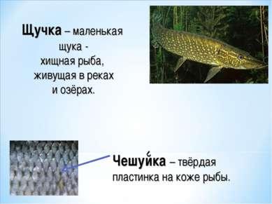 Чешуйка – твёрдая пластинка на коже рыбы. Щучка – маленькая щука - хищная рыб...