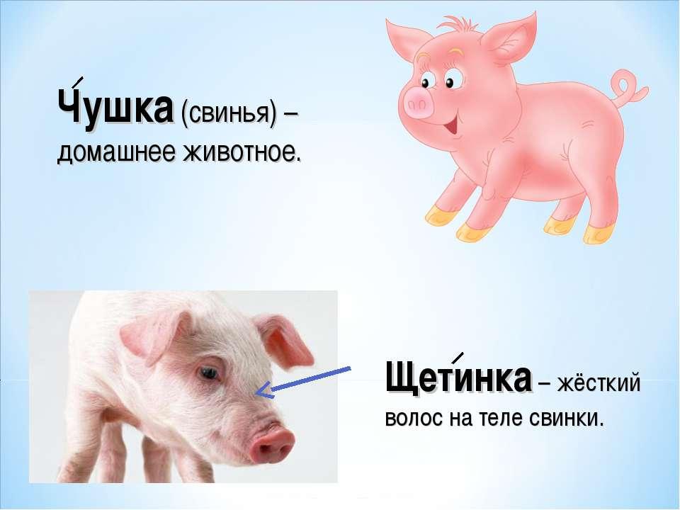 Щетинка – жёсткий волос на теле свинки. Чушка (свинья) – домашнее животное.