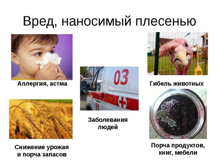 Вред, наносимый плесенью Аллергия, астма Гибель животных Заболевания людей Сн...