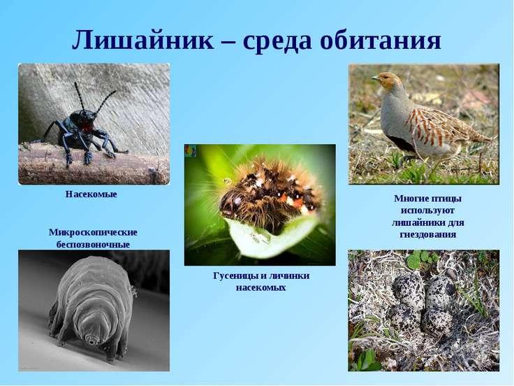 Лишайник – среда обитания Насекомые Гусеницы и личинки насекомых Микроскопиче...