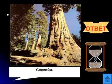 Вопрос 12 Род вечнозелёных хвойных деревьев. Относится к высочайшим деревьям ...