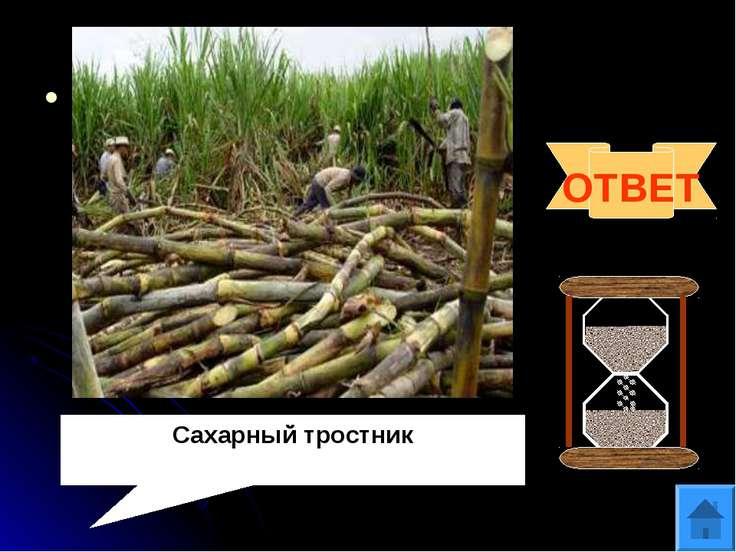Вопрос 8 Один из воинов Александра Македонского писал об этом растении: «…про...