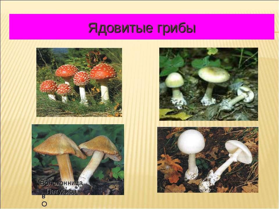 Ядовитые грибы вОЛОКО Волоконница Патуйяра
