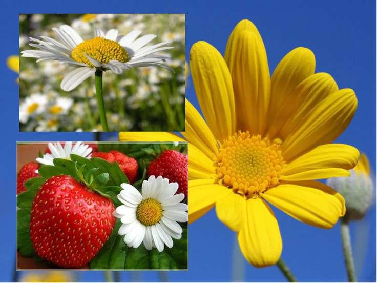 Цветки ромашки применяются в косметике для придания светлым волосам золотисто...