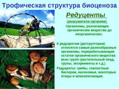 Трофическая структура биоценоза Редуценты (разрушители органики) Организмы, р...