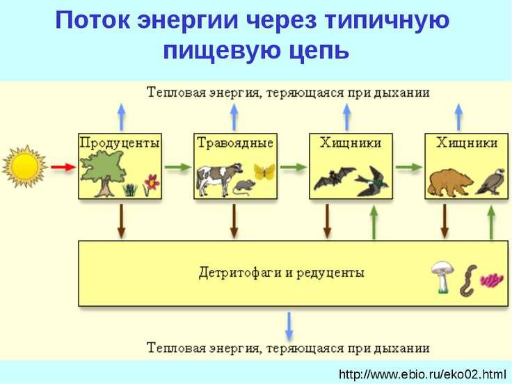 http://www.ebio.ru/eko02.html Поток энергии через типичную пищевую цепь