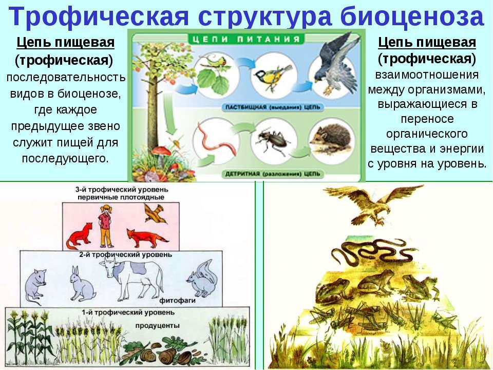 Трофическая структура биоценоза Цепь пищевая (трофическая) последовательность...