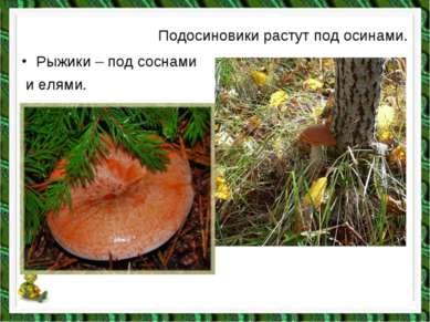 Подосиновики растут под осинами. Рыжики – под соснами и елями.