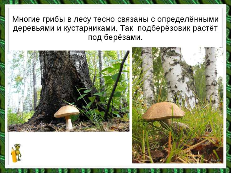 Многие грибы в лесу тесно связаны с определёнными деревьями и кустарниками. Т...