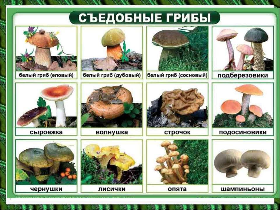 гриб первой категории фото