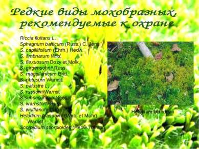 Riccia fluitans L. Sphagnum balticum (Russ.) С. Jens. S. capillifolium (Ehrh....