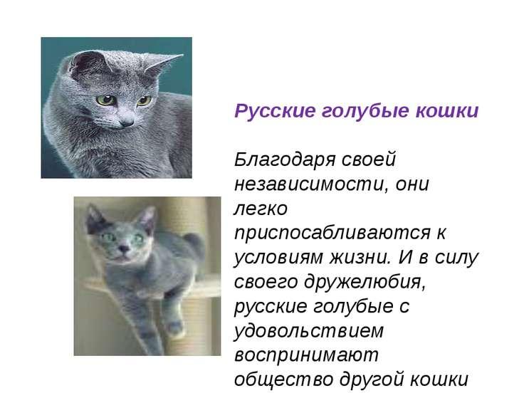 Русские голубые кошки Благодаря своей независимости, они легко приспосабливаю...
