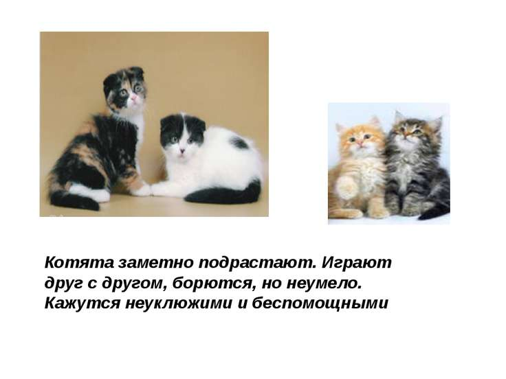 Котята заметно подрастают. Играют друг с другом, борются, но неумело. Кажутся...