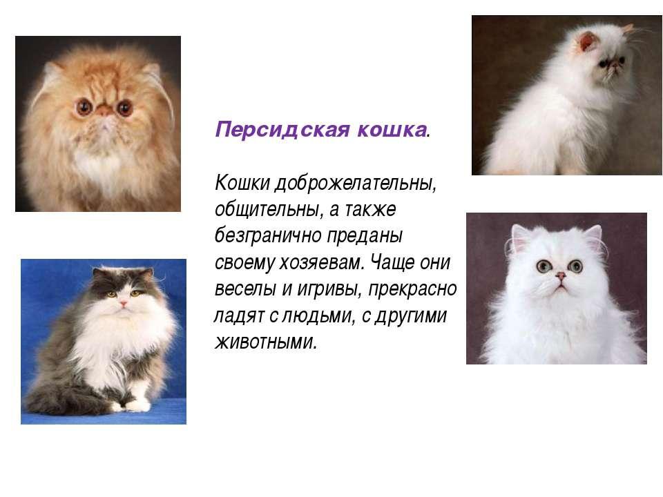 Персидская кошка. Кошки доброжелательны, общительны, а также безгранично пред...