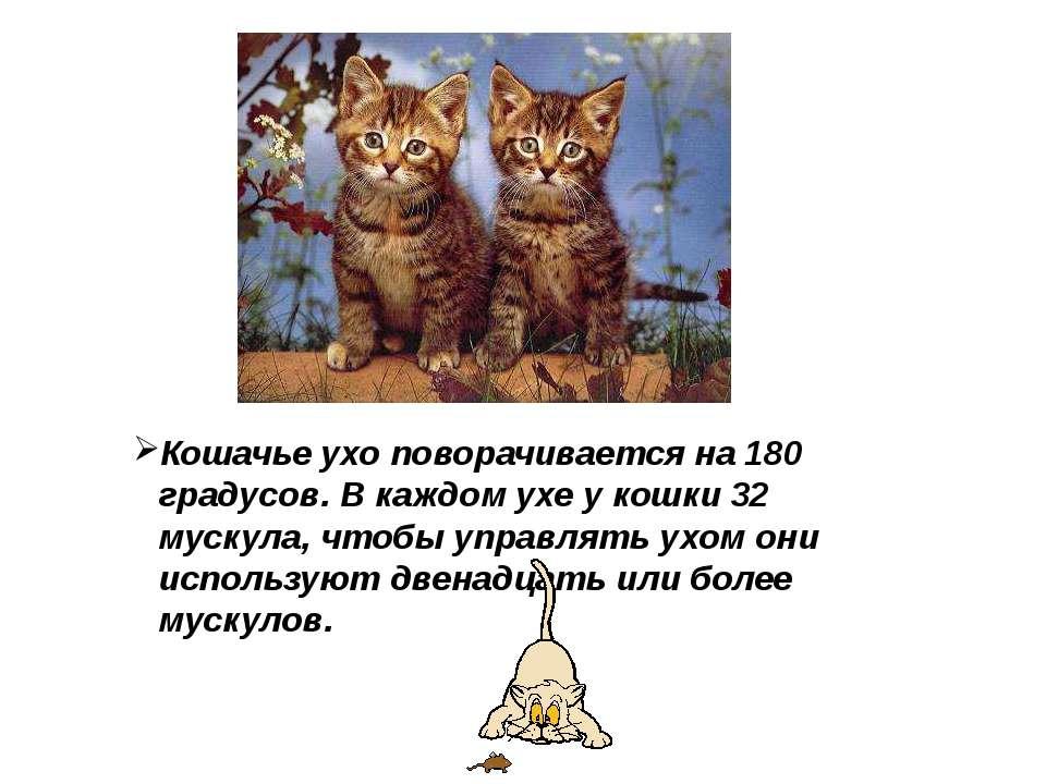 Кошачье ухо поворачивается на 180 градусов. В каждом ухе у кошки 32 мускула, ...