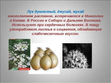 Лук душистый, джусай, жусай многолетнее растение, встречается в Монголии и Ки...