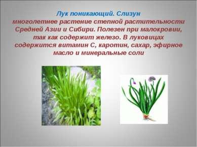 Лук поникающий. Слизун многолетнее растение степной растительности Средней Аз...