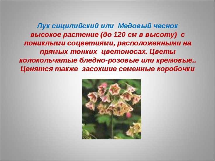 Лук сицилийский или Медовый чеснок высокое растение (до 120 см в высоту) с по...